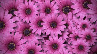 Gerbera flowers, Daisy flowers, Pink daisies, Aesthetic, Spring