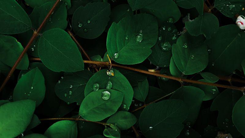 Green leaves, Rain droplets, Macro, Plant, Wallpaper