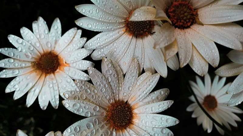 Daisy flowers, White flowers, Dew Drops, Water drops, Wallpaper
