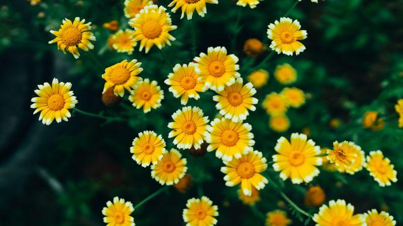 Daisy flowers, Yellow flowers, Blossom, Bloom, Pollen, 5K, 8K, Wallpaper