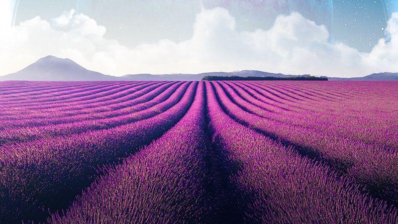 Lavender fields, Lavender farm, Landscape, Planet, Surreal, Aesthetic, Wallpaper