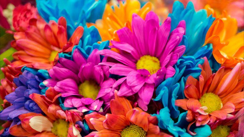 Dahlia flowers, Colorful, Bloom, Pink, Orange, Vibrant, Aesthetic, Wallpaper