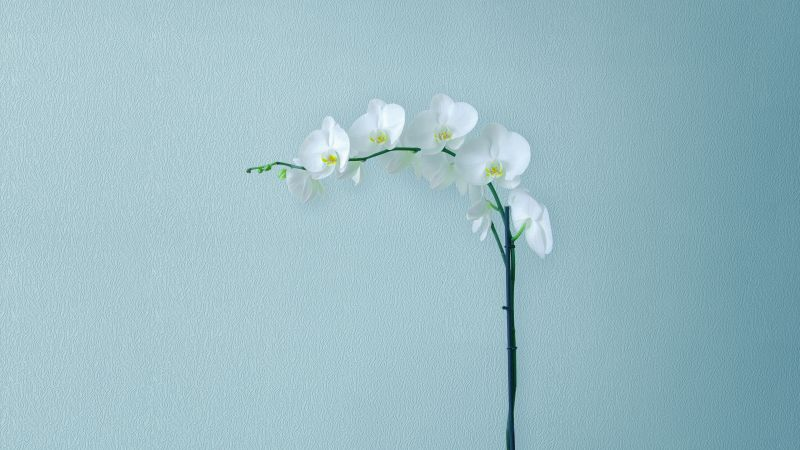 White Orchids, Orchid flowers, Branch, Artificial flowers, Stock, Wallpaper