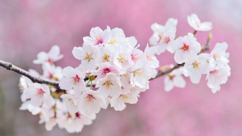 Cherry flowers, Cherry blossom, Spring, Pink flowers, 5K, Wallpaper