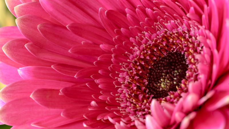Gerbera Daisy, Daisy flower, Pink Daisy, Pink flower, 5K, Wallpaper