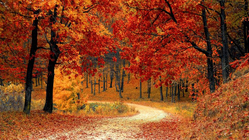 Autumn, Red leaves, Forest, Pathway, Scenery, Fall, Trees, Aesthetic, Wallpaper