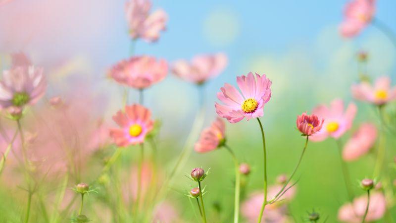 Flower garden, Cosmos flowers, Summer, Aesthetic, Daytime, 5K, Wallpaper