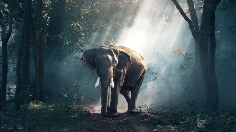 Elephant, Forest, Daylight, Woods, Wallpaper