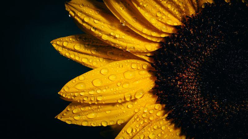 Sunflower, Black background, Rain droplets, Yellow, Wallpaper