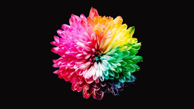 Colorful flowers, Multicolor, Black background, 5K, Wallpaper