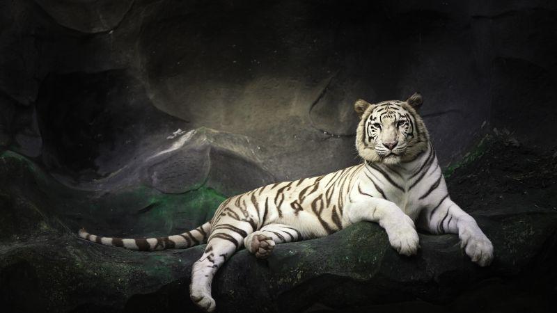 White Bengal Tiger, Zoo, Cave, White tiger, Wild, Dark, Wallpaper