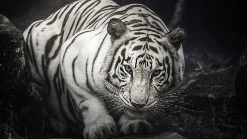 White Bengal Tiger, Monochrome, Rocks, Starring, White tiger, Wallpaper