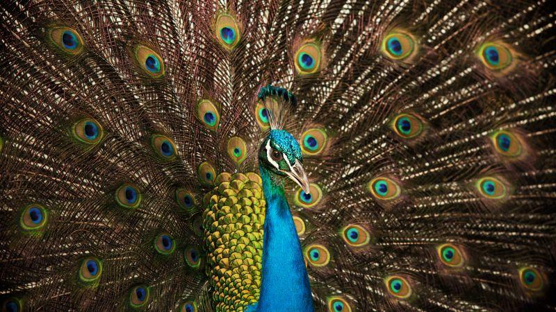 Peafowl, Peacock, Indian Peafowl, Peacock train, 5K, Wallpaper