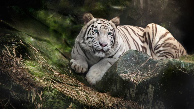 White Bengal Tiger, Zoo, White tiger, Wild, Wallpaper