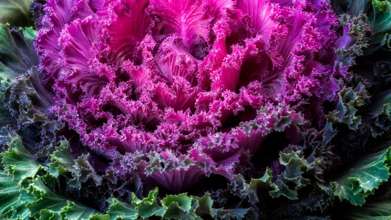 Ornamental Kale, Pink leaves, Ornamental cabbage, Plant, 5K, Wallpaper
