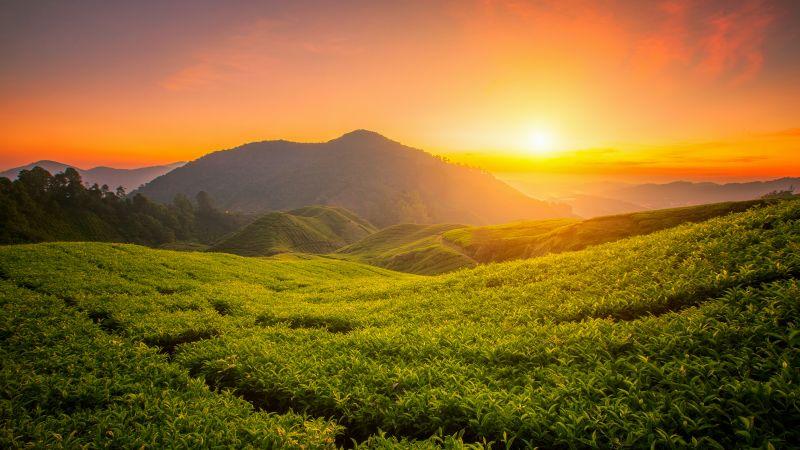 Tea form, Cameron Highlands, Sunrise, Landscape, Hills, Agriculture, Malaysia, Aesthetic, 5K, Wallpaper