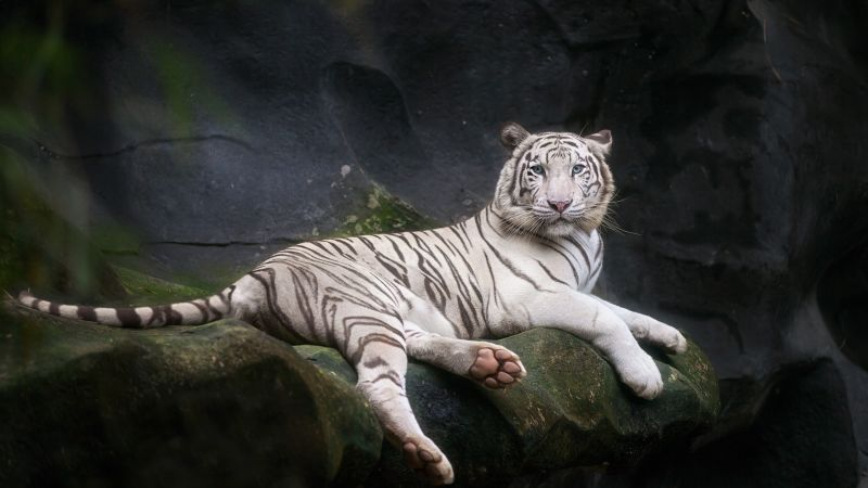 White Bengal Tiger, Zoo, Cave, White tiger, Wild, 5K, Wallpaper