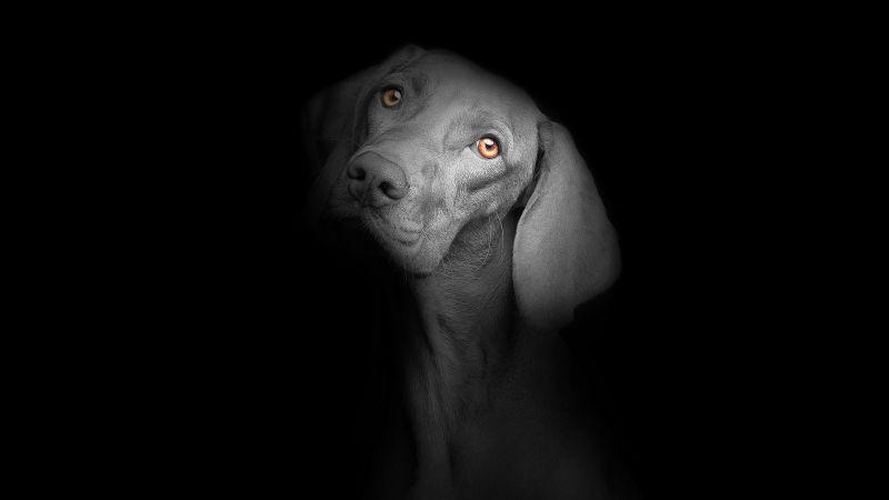 Black dog, Black background, Dark, AMOLED, Cute puppies, Cute dog, Wallpaper
