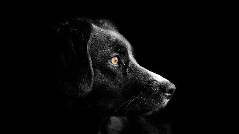 Black dog, Cute puppies, Black background, Dark, AMOLED, 5K, Wallpaper