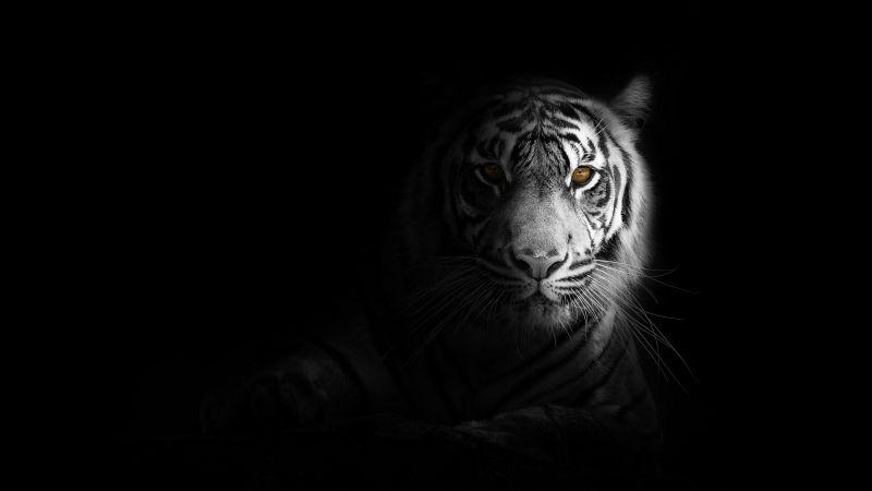 White tiger, Bengal Tiger, Black background, 5K, Wallpaper