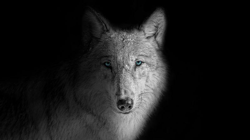 Wolf, Beast, Wild, White wolf, Black background, Wallpaper
