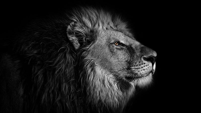 Lion, African, Black background, 5K, Wallpaper