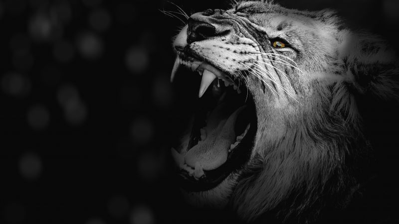 Lion, Roaring, African, Predator, 5K, Wallpaper