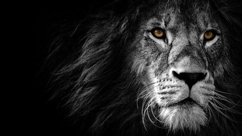 Lion, Wild, African, Predator, Black background, Wallpaper