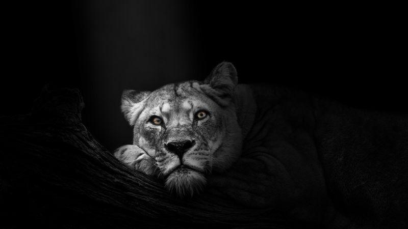 Lioness, African, Predator, Wild, 5K, Dark background, Monochrome, Wallpaper