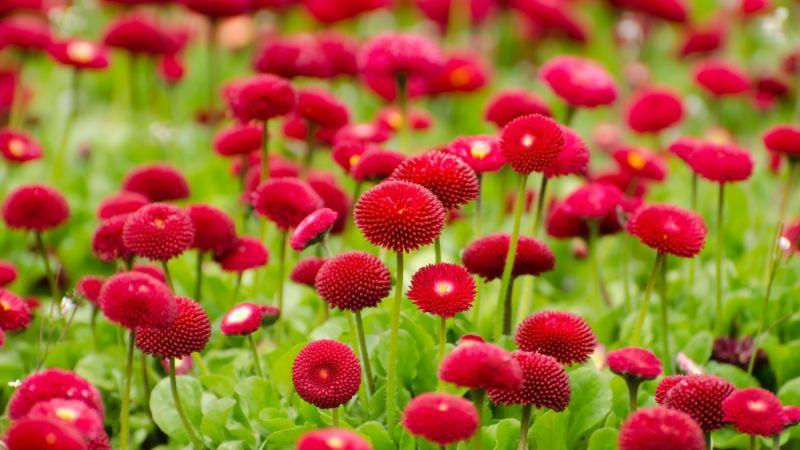 Red flowers, Blossom, Spring, Bloom, Flower garden, Flora, 5K, Wallpaper