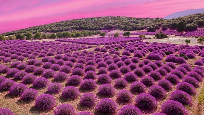 Lavender fields, Landscape, Pink sky, Garden, Blossom, Wallpaper