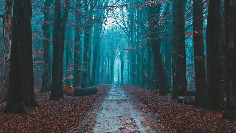 Fall Foliage, Bare trees, Path, Forest, Morning, Scenic, Atmosphere, 5K, Wallpaper