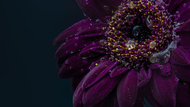 Gerbera flower, Purple Flower, Dark, Rain droplets, 5K, Wallpaper