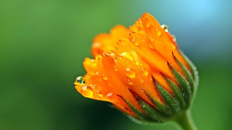 Marigold flower, Calendula, Blossom, Bokeh, Yellow flower, Dew Drops, Bloom, 5K, Wallpaper
