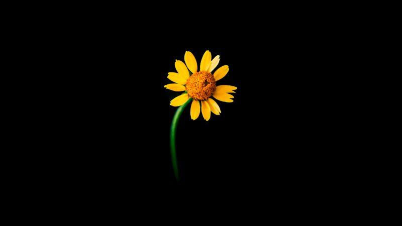 Sunflower, Lonely, Black background, 5K, Wallpaper