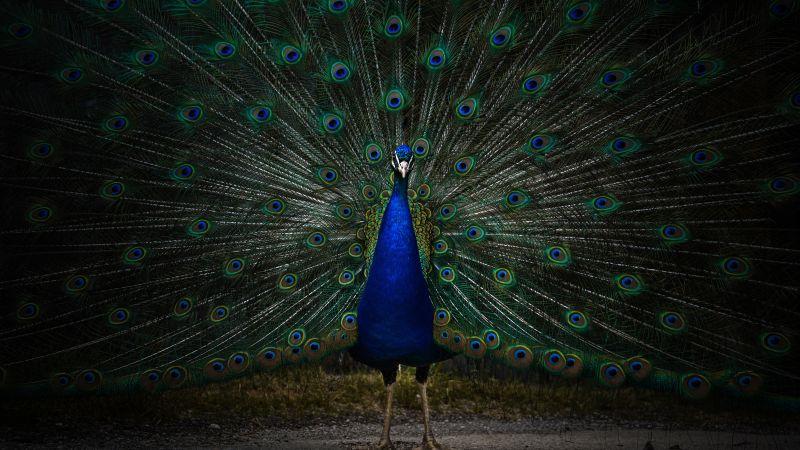 Peacock, Peafowl, Zoo, Dark, 5K, 8K, Wallpaper