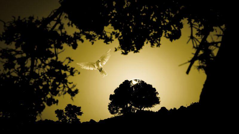 Dove, Flying bird, Sunset, Trees, Silhouette, Scenic, Evening, Dawn, 5K, 8K, Wallpaper