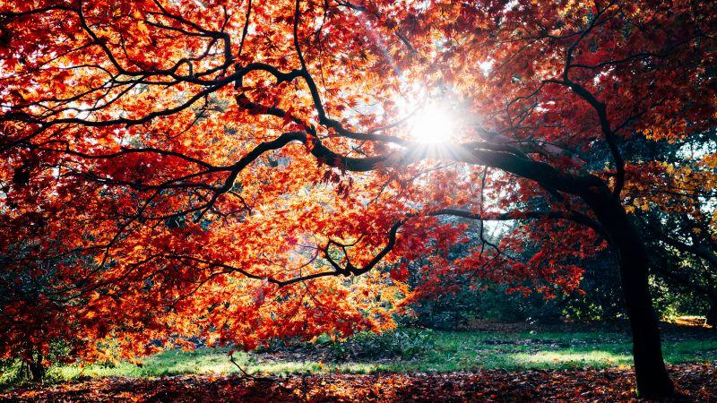 Autumn, Fall, Maple tree, Fall Foliage, Sunlight, Westonbirt, The National Arboretum, England, 5K, Wallpaper