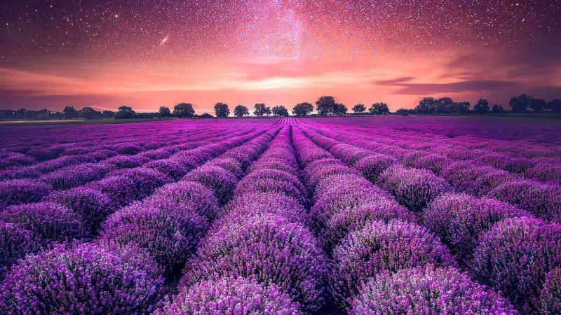 Lavender farm, Lavender fields, Sunset, Starry sky, Dawn, Purple, Landscape, Scenic, Wallpaper
