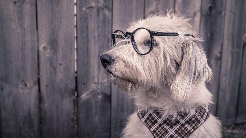 Dog, Funny, Glasses, Wooden background, Cute, 5K, Wallpaper