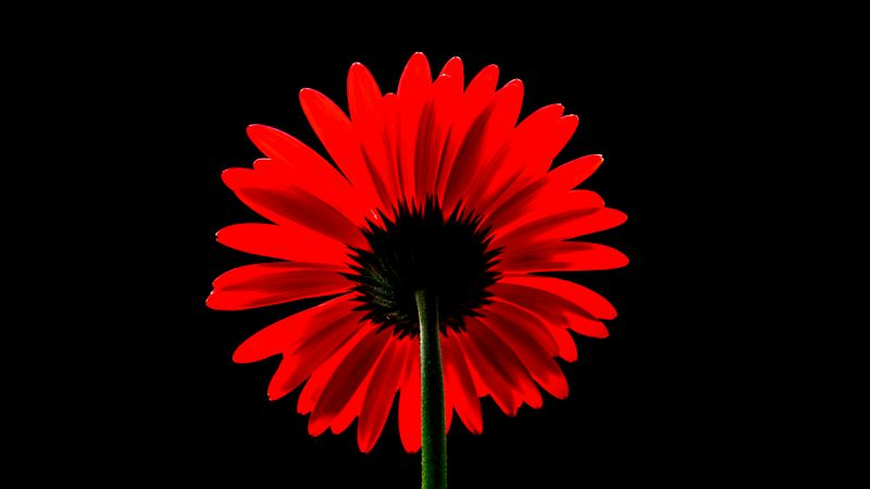 Red Gerbera Daisy, Red flower, Black background, Red Daisy, 5K, AMOLED, Wallpaper