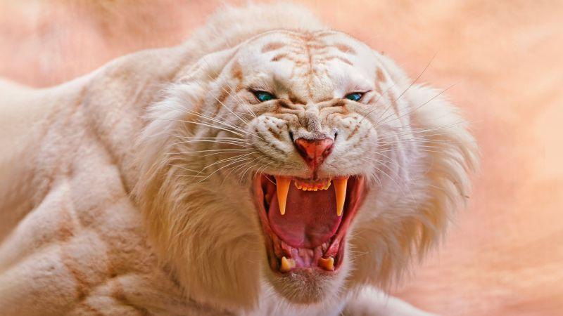 White tiger, Roaring, Blue eyes, Predator, Wild, Wallpaper