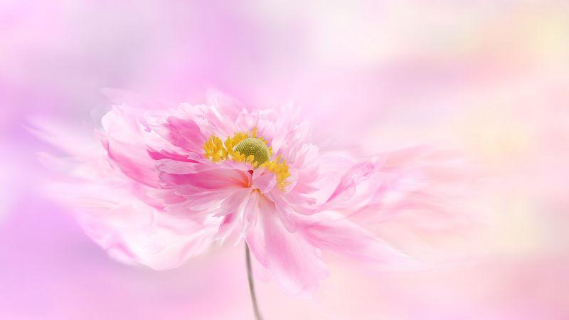 Pink flower, Pink background, Blossom, Wallpaper
