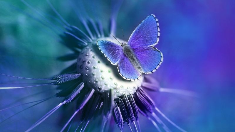 Butterfly, Lycaenidae, Blue, Closeup, Purple, Wallpaper
