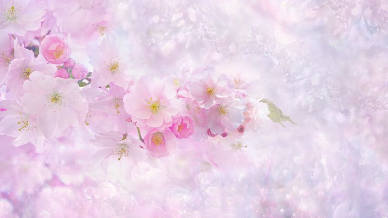 Cherry blossom, Pink flowers, Cherry tree, Nature, Pink background, Girly backgrounds, Spring, Wallpaper