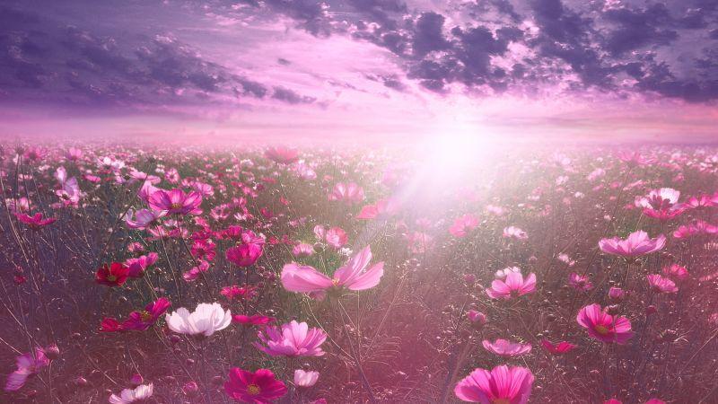 Pink flower, Cosmos, Sunrise, Garden, Sky view, Clouds, Nature, Wallpaper