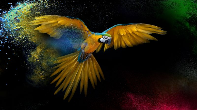 Macaw, Wings, Feathers, Colorful, Splash, Black background, Yellow bird, Wallpaper