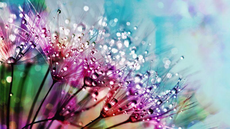 Dandelion flowers, Multicolor, Colorful, Water drops, Aesthetic, 5K, Wallpaper