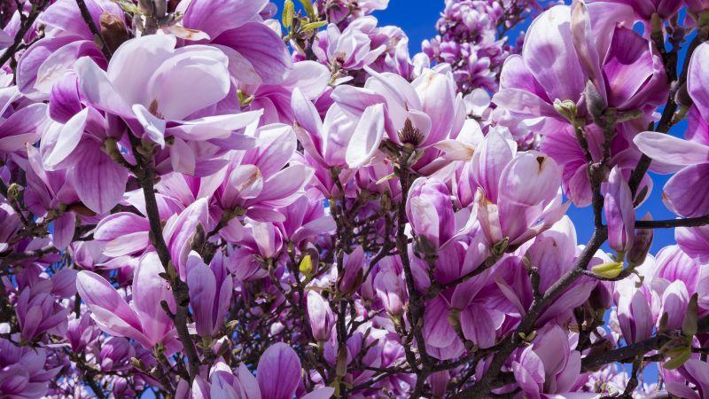 Magnolia flowers, Blossom, Pink, Nature, Beautiful, Spring, 5K, Wallpaper