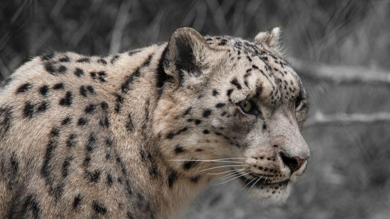 Snow leopard, White, Wildlife, Mammal, Zoo, Big cat, Wallpaper